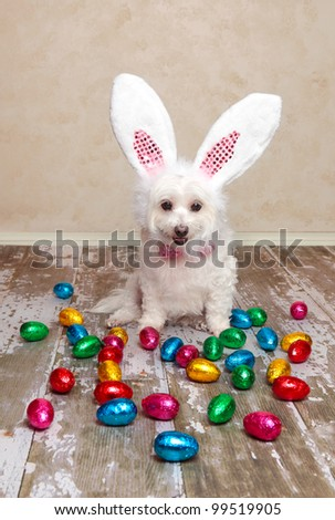 A cute little dog dressed as easter bunny looking down at lots of delicious foil wrapped chocolate easter eggs.