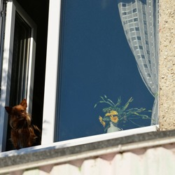 A cute little dog looks out of the window. Curious pet sit near an open window and looks out at the street.