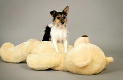 a cute little dog plays with a huge teddybear