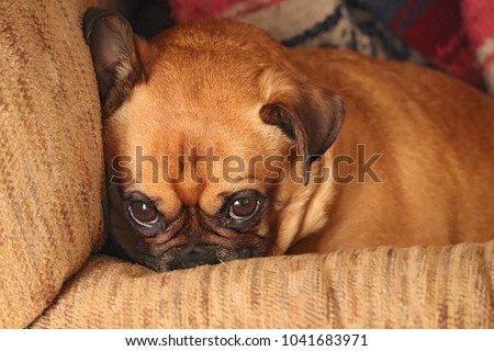 Stock Photo A cute little dog that is cuddling up in the arm of a recliner, the dog is small and half pug and half fox terrier.