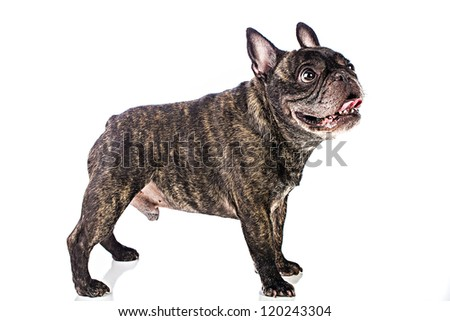 A cute little French Bulldog with a flat face