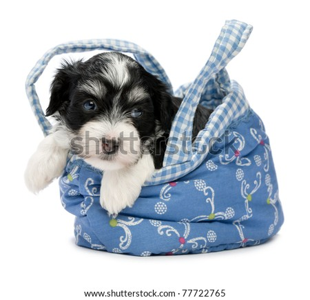A cute little havanese puppy dog in a mini basket isolated on white background