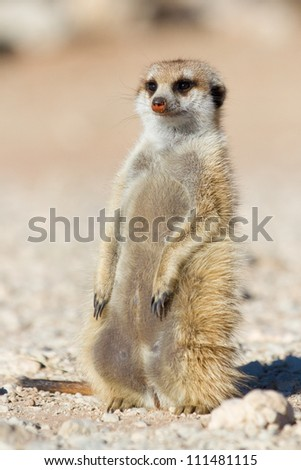 A cute little meerkat sun bathing in the kalahari - stock photo
