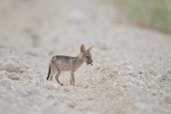 A cute little sand fox captured in the middle of the desert