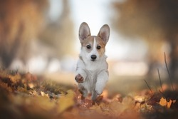 A cute little welsh corgi pembroke puppy dog running along a path among red and yellow fallen leaves against the backdrop of a bright autumn landscape. Paws in the air. Looking into the camera