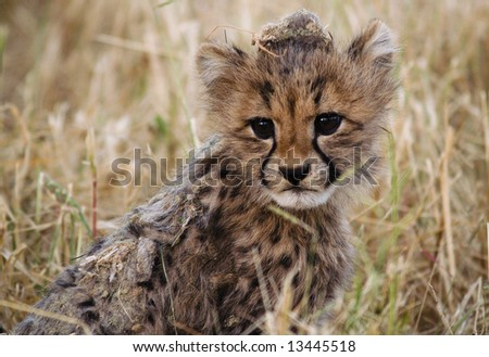 A cute little wild cheetah cub