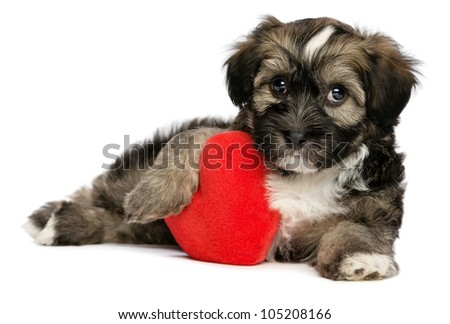 A cute lover valentine havanese male puppy dog is holding a red heart, isolated on white background - stock photo