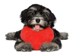 A cute lover valentine havanese puppy dog is holding a red heart, isolated on white background