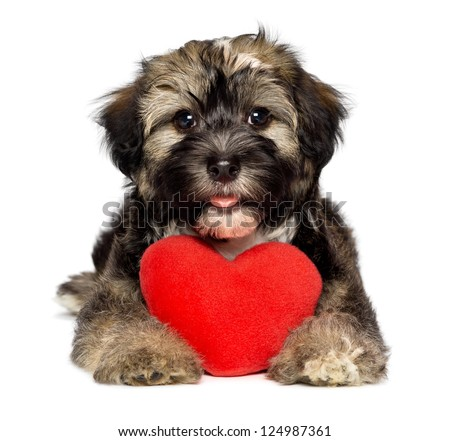 A cute lover valentine havanese puppy dog is holding a red heart isolated on white background