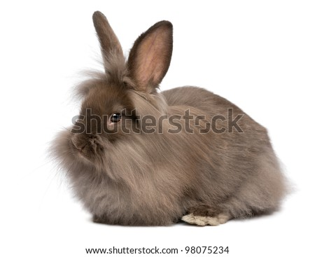A Cute Lying Chocolate Colored Mini Lionhead Bunny Rabbit ...