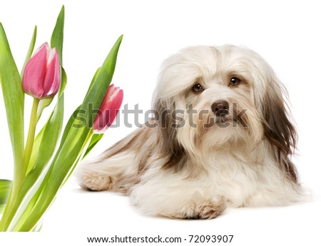 A cute lying chocolate havanese dog with some pink tulips before white background