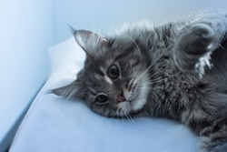A cute Maine Coon cat lies on a white table in blue light, resting after a hard day and thinking about something