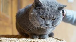 A cute male British shorthair cat