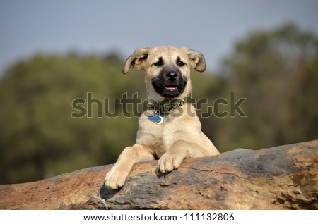A cute male cream and black nosed Alsatian or German Shepard cross puppy or dog that has his paws resting on a log looking into the distance with nature in the background.
