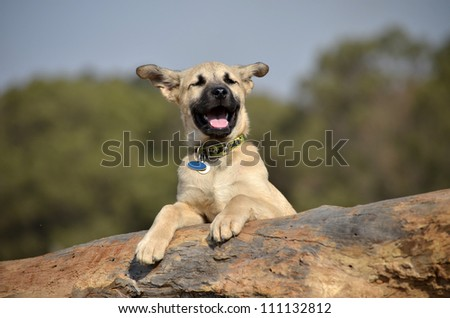 A cute male cream and black nosed Alsatian or German Shepard cross puppy or dog that has his paws resting on a log with his ears blowing in the wind and his mouth wide open smiling.