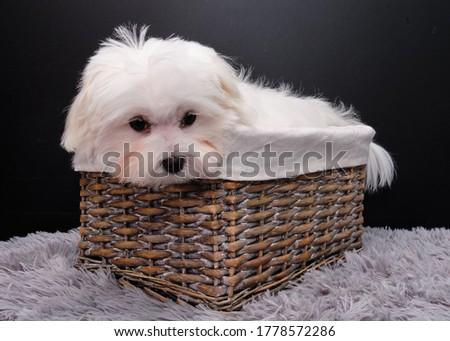 A cute Maltese dog puppy is lying on an upturned rattan basket. The dog has undergone procedures at the groomer and looks forward happy. Black background.