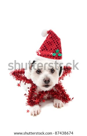 A cute maltese terrier lying down with a red tinsel Christmas star and santa hat.
