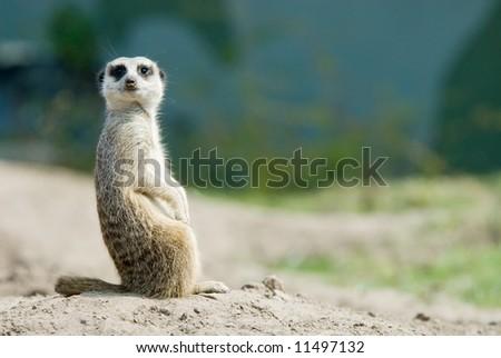 a cute meerkat (Suricata suricatta)