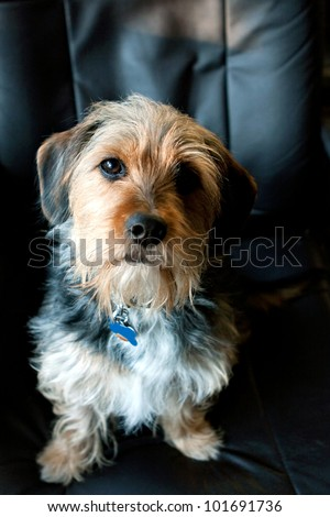 A cute mixed breed Borkie dog. The dog is half beagle and half yorkshire terrier.