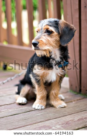 A cute mixed breed borkie puppy sitting on the deck. The dog is half beagle and half yorkshire terrier. Shallow depth of field.