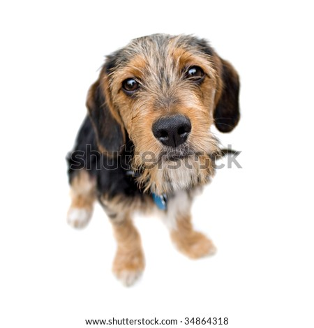 A cute mixed breed puppy isolated over white. The dog is half beagle and half yorkshire terrier. Shallow depth of field.