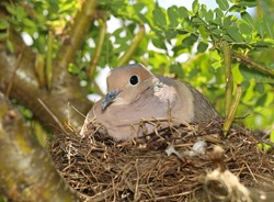 A cute mourning dove in a nest