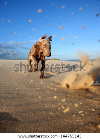 A cute new born pure bred weimeraner puppy dog runs and plays in the sand on the beach on a beautiful summer day in the Eastern Cape, South AFrica