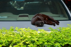 A cute notched ear black cat relaxing by lying on his back on trunk lid of sedan car in parking lot