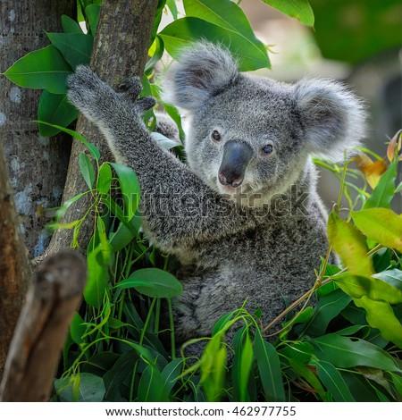 A cute of koala. #462977755