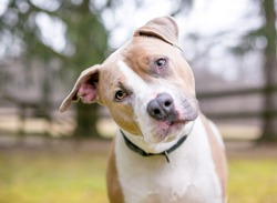 A cute Pit Bull Terrier mixed breed dog listening with a head tilt
