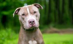 A cute Pit Bull Terrier x Shar Pei mixed breed dog listening with a head tilt