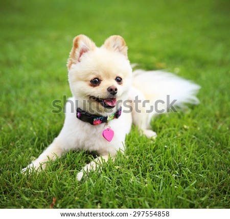 a cute pomeranian puppy dog that has been groomed smiling in a park setting with a pretty collar and tag on