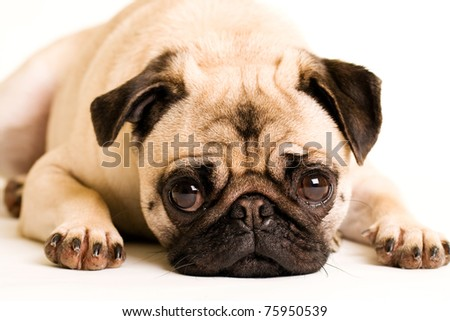 a cute Pug dog with a sad, flat face