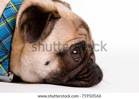 a cute Pug dog with a sad, flat face