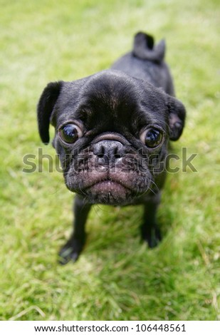 a cute pug enjoying the outdoors - stock photo