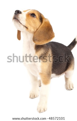 A cute purebred beagle looking at something isolated over white