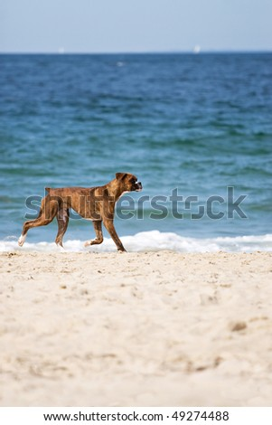 A cute purebred boxer dog running on the beach with plenty of copy space.