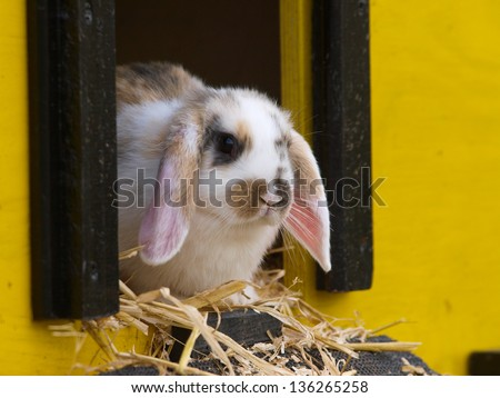 A cute rabbit with floppy ears sits inside its hutch.