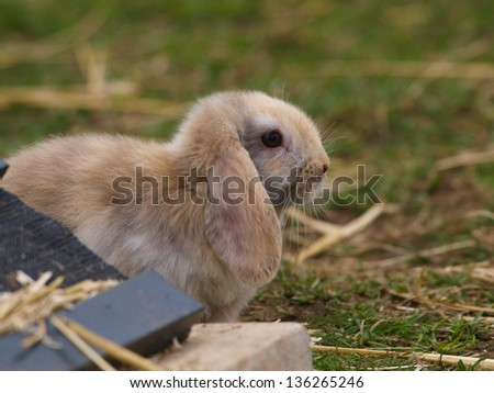 A cute rabbit with floppy ears sits on the grass.