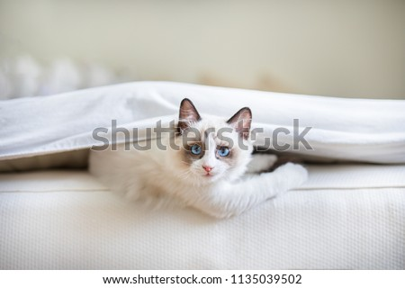 A cute Ragdoll kitten in the bedroom, tucked in between the sheets and the mattress. The little blue eyed cat is looking at the camera with a mischievous look upon its face.