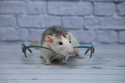 A cute rat sits next to glasses with transparent glasses. Clever rodent