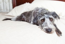 A cute scruffy mixed breed dog with a tired expression laying on a bed