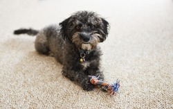 A cute, scruffy Yorkiechon puppy dog with a chew toy on a light berber carpet.