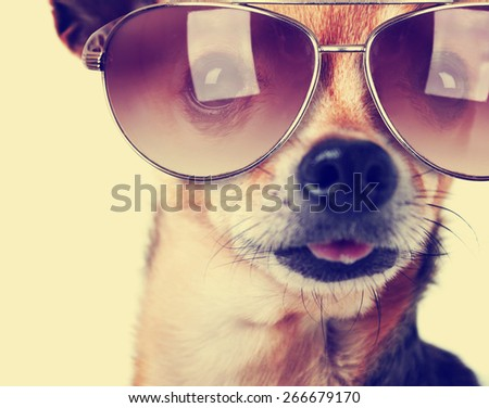 stock photo a cute senior chihuahua with his tongue hanging and sunglasses on out toned with a retro vintage 266679170 - Каталог — Фотообои «Животные»