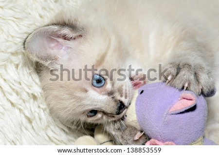 A cute Siamese, Balinese mixed kitten playing with his stuffed animal.