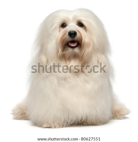 A cute sitting cream havanese male dog is looking to camera, isolated on white background