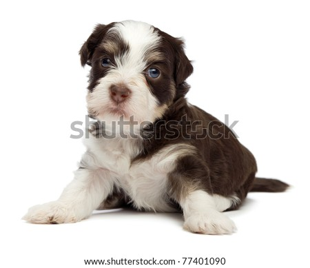 A cute sitting little chocolate havanese puppy dog isolated on white background