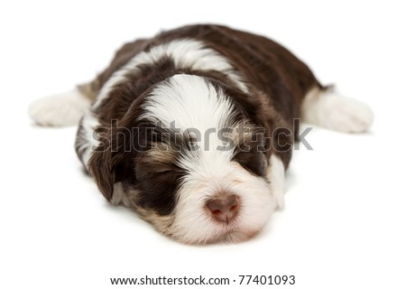 A cute sleeping little chocolate havanese puppy dog isolated on white background