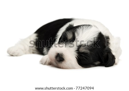A cute sleeping little spotted havanese puppy dog isolated on white background