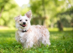 A cute small mixed breed dog with one upright ear and one floppy ear